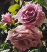 suche rosen ohne dornen seite 1 rund um die rose. Black Bedroom Furniture Sets. Home Design Ideas